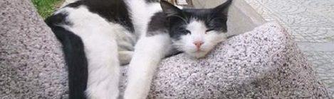 Idős cica degeneratív ízületi betegsége – általános gyógyszer-alkalmazási alapelvek