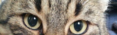 Kandúr cica